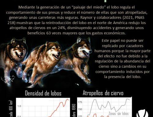 El lobo evita atropellos