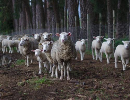 El coraje de los corderos y la temeridad de desafiar al planeta